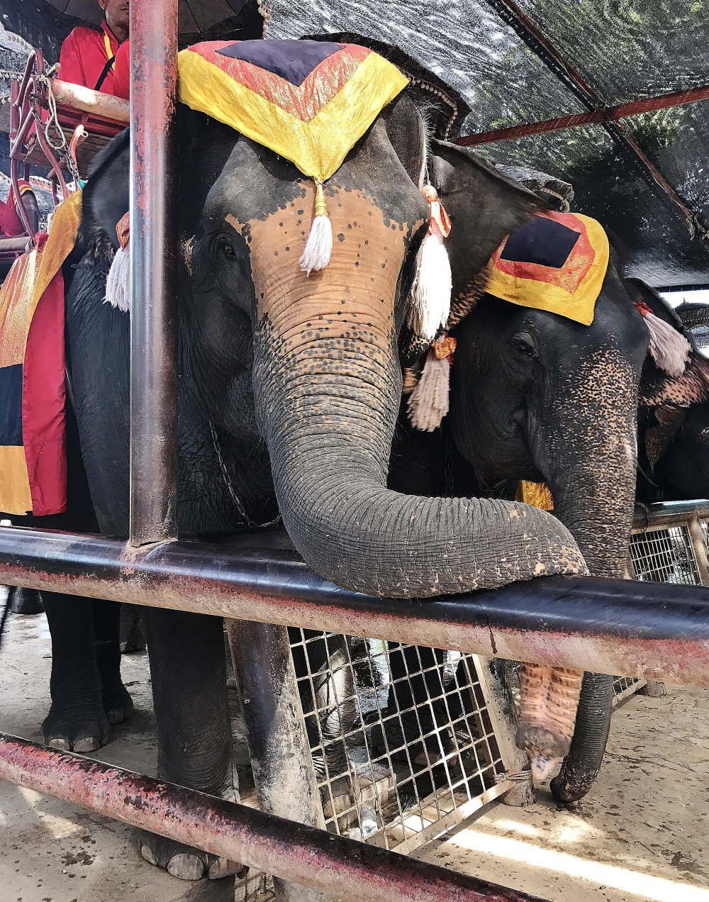 アユタヤエレファントキャンプの象